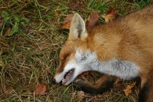 Bild Treibjagd auf den Fuchs