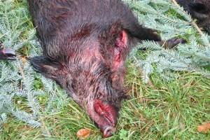 Bild Treibjagd auf das Widschwein